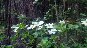 Dogwoods in Grove