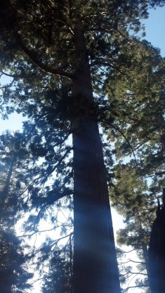 Sun Shining Through Sequoia
