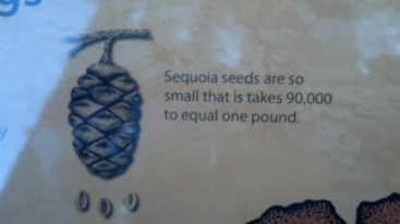 90,000 Sequoia seeds = 1lb